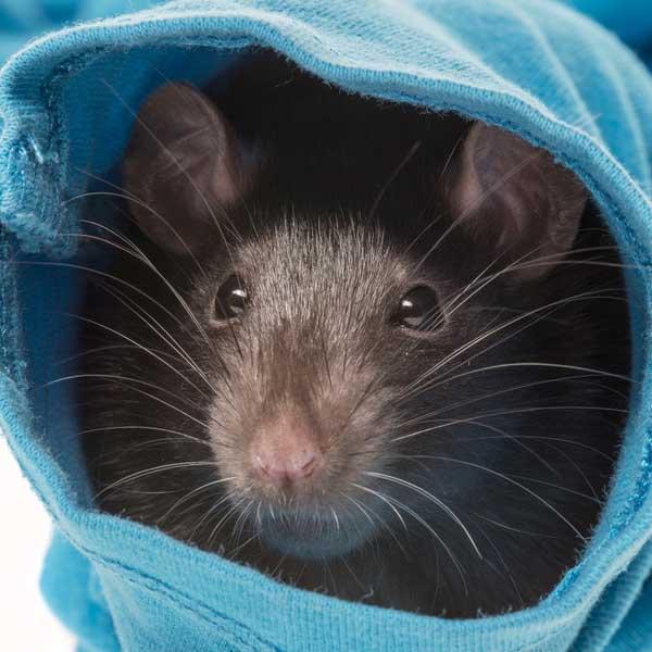 Přírodní péče o potkany